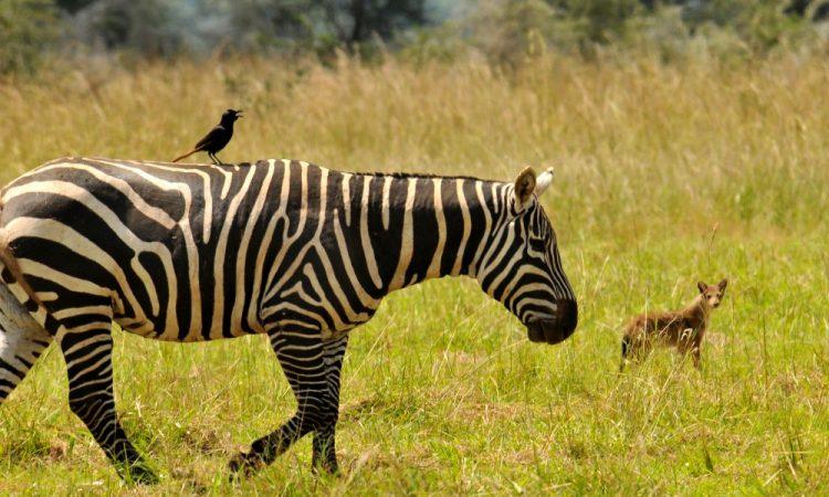 Uganda Safari Companies