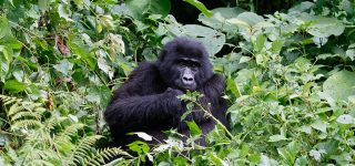 18 Facts About Mountain Gorillas