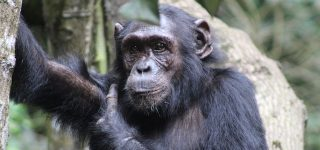 2 Days Kibale Chimpanzee Trekking Tour