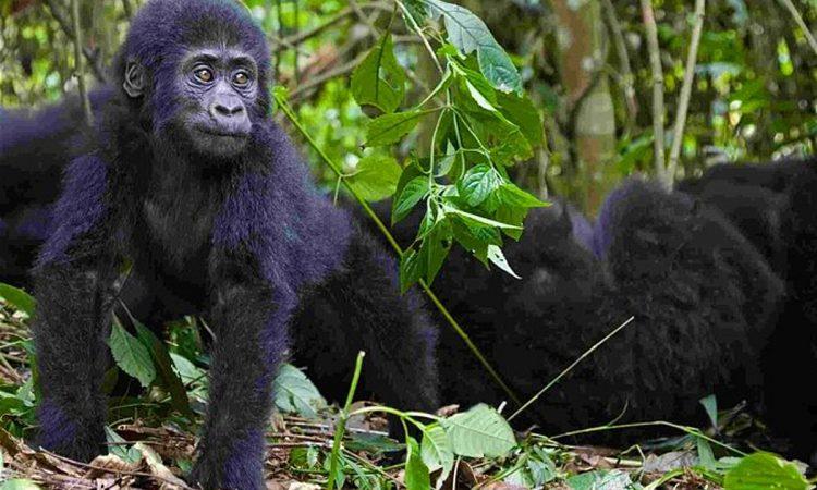 2 Days Uganda Gorilla Trekking from Kigali
