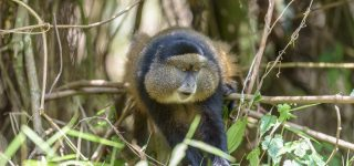 4 Days Uganda Gorilla and Golden Monkey Safari