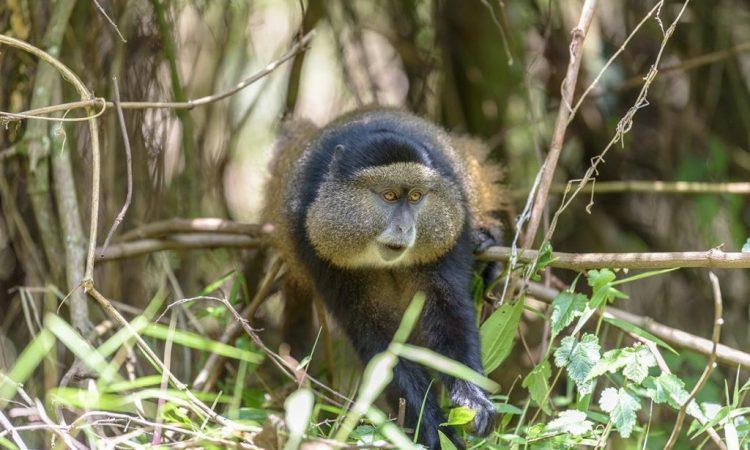 4 Days Uganda Gorilla and Golden Monkey Safari