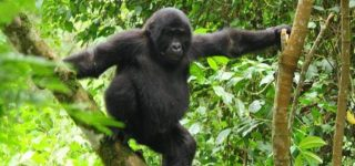 5 Days Gorilla Habituation & Chimpanzee Trekking Safari