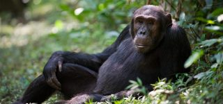 Chimpanzee Trekking Safari in Uganda