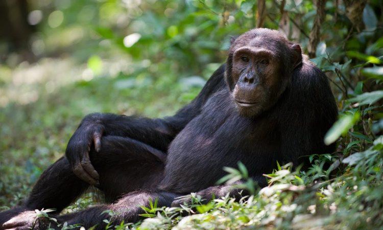 Chimpanzee Trekking Safari in Uganda