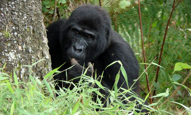 Reasons why Gorilla Trekking Lasts for one hour