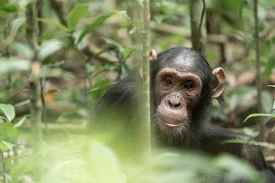 Chimpanzee Trekking Rules and Regulations