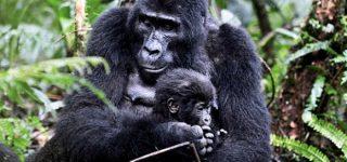 Gorilla Trekking Safari in Uganda