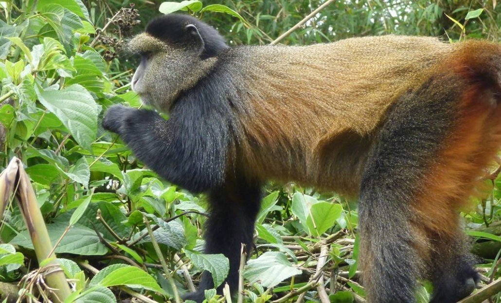 4 Days Uganda Gorilla Trekking and Golden monkey safari