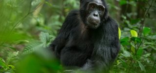 2 Days Uganda Chimpanzee Trekking Safari