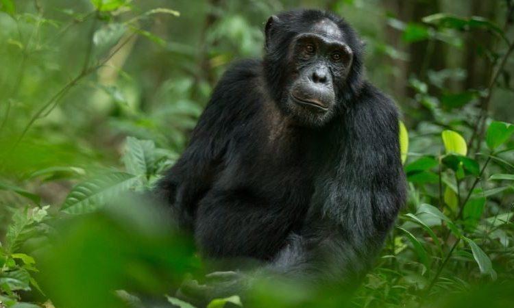 2 Days Uganda Chimpanzee Trekking Safari