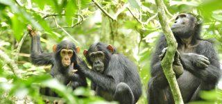 Chimpanzee Trekking and Habituation in Kibale